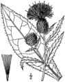 Cirsium altissimum drawing.png
