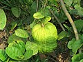 Citrus medica - Citron at Thattekkadu (1).jpg