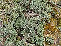 Cladonia cylindrica (A. Evans) A. Evans 724364.jpg