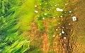 Cladophora glomerata in a wave at Govik 1.jpg