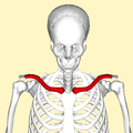Clavicle - anterior view2.png