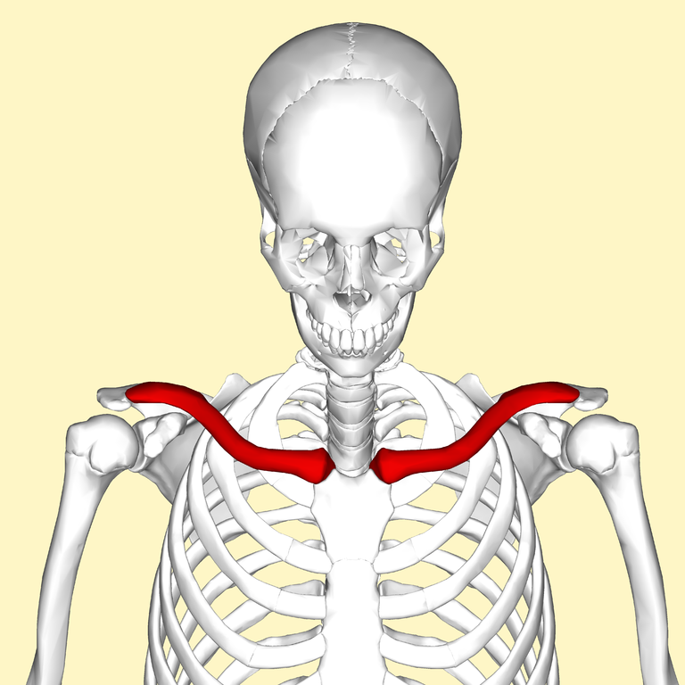 Image result for clavicle