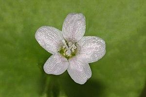Claytonia perfoliata - Image: Claytonia perfoliata 2710f