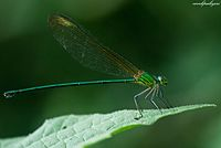 Clear-winged Forest Glory - Vestalis Gracilis.jpg