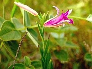 Cleistes libonii