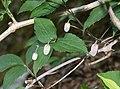 Clematis japonica s4.jpg