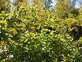 Clematis ligusticifolia (5062886044).jpg