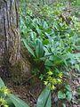 Clintonia borealis - blue bead lily (4639711367).jpg