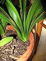 Clivia miniata (005).jpg