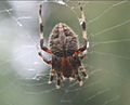 Close up of Spider in window.jpg