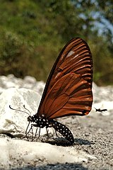 Close wing mud puddling position of Papilio slateri Hewitson, 1859 – Blue-striped Mime.jpg