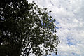 Clouds with silhouetted trees at Theydon Mount Essex England 02.JPG