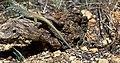 Cnemidophorus tigris multiscutatus.jpg