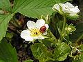 Coccinella septempunctata2.jpg