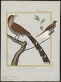 Coccyzus cayanus - 1700-1880 - Print - Iconographia Zoologica - Special Collections University of Amsterdam - UBA01 IZ18800203.tif