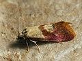 Cochylis flaviciliana - Gold-fringed conch (41279572242).jpg