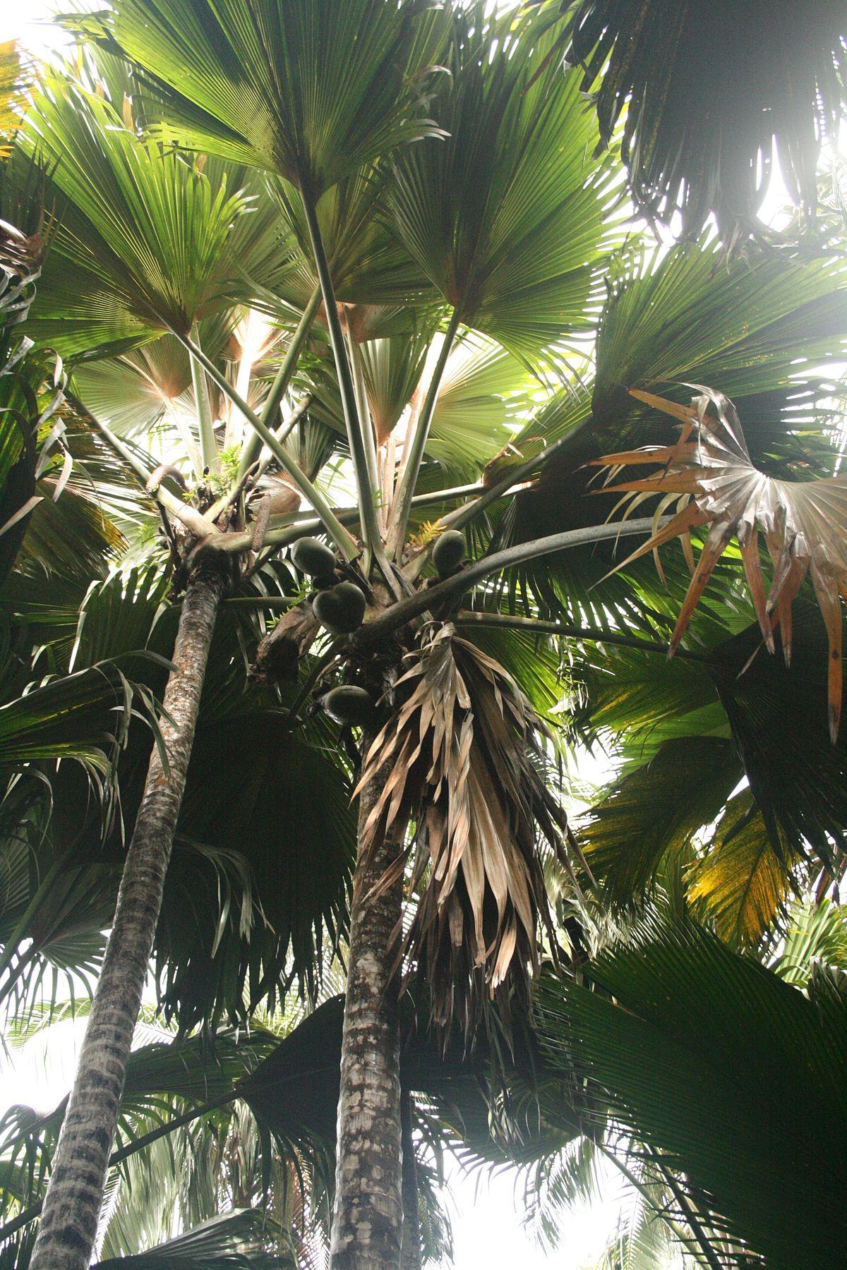 Cocotier de mer wikip dia - Palmier cocotier ...