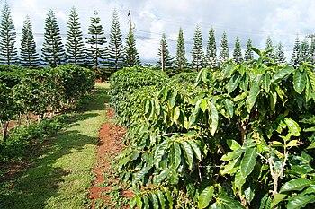 English: Coffee plantation in Kauai