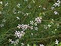 Coleonema pulchellum.jpg