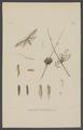 Coleophora - Print - Iconographia Zoologica - Special Collections University of Amsterdam - UBAINV0274 003 07 0019.tif