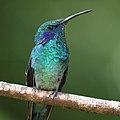 Colibri thalassinus Monteverde 03.jpg