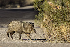 Collared Peccary crossing the road.jpg