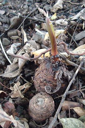 Colocasia esculenta (Taro or Gabi) corms germinating - Mindanao, Philippines.JPG