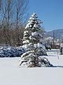 ColoradoBlueSpruce snow.JPG