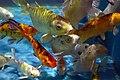 Colorful aquarium fishes, Radiant Fish World, Cox's Bazar (01).jpg