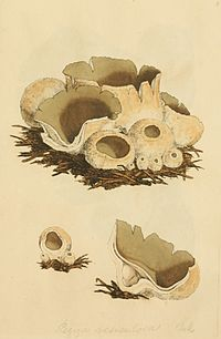 Coloured Figures of English Fungi or Mushrooms - t. 4.jpg