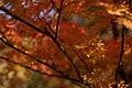Coloured maples leaves (8219245744).jpg