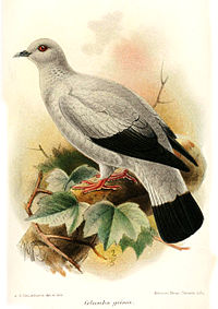 ColumbaGriseaKeulemans