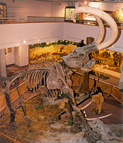 A display of a mammoth at a museum