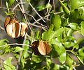 Combretum apiculatum, loof en vrugte, Phakama, b.jpg