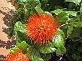 Combretum constrictum - Powderpuff Combretum 2014 (2).jpg