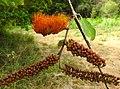 Combretum farinosum.jpg