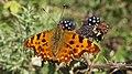 Comma butterfly (10207659285).jpg