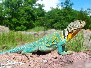 Common collared lizard - A common collared lizard in Taum Sauk Mountain State Park, Missouri