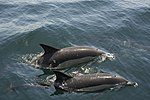 Common Dolphins in Gibraltar Bay.jpg