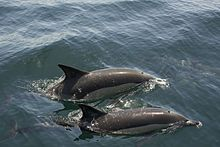 Common Dolphins in Gibraltar Bay