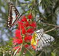 Common Jezebel (Delias eucharis) & Common Jay (Graphium doson) on Callistemon viminalis W IMG 0640.jpg