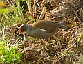 Common Moorhen (Gallinula chloropus) (26179149496).jpg