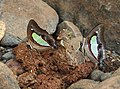 Common Nawab Polyura athamas by Dr. Raju Kasambe DSCN5879 (1).jpg