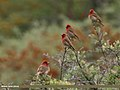 Common Rosefinch (Carpodacus erythrinus) (29741970621).jpg