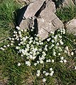 Common Scurvygrass (Cochlearia officinalis) - geograph.org.uk - 795149.jpg