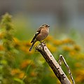 Common chaffinch, male.jpg