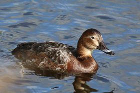 Common pochard (Aythya ferina).jpg