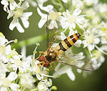 ComputerHotline - Syrphidae sp. (by) (10).jpg