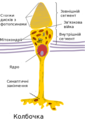 Cone cell uk.png