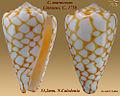 Conus marmoreus 5.jpg